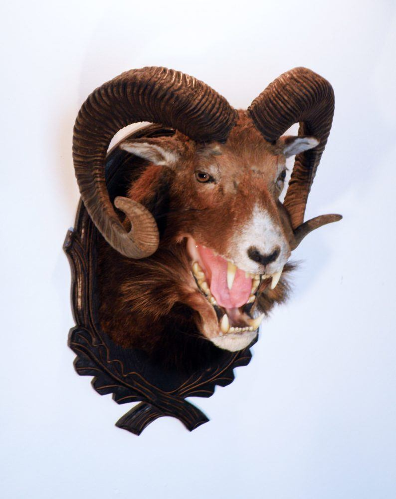 Liobam (Ovis leo) | Taxidermy Artist | Janec van Veen | Playful and Horrific, Wondrous and Terrifying